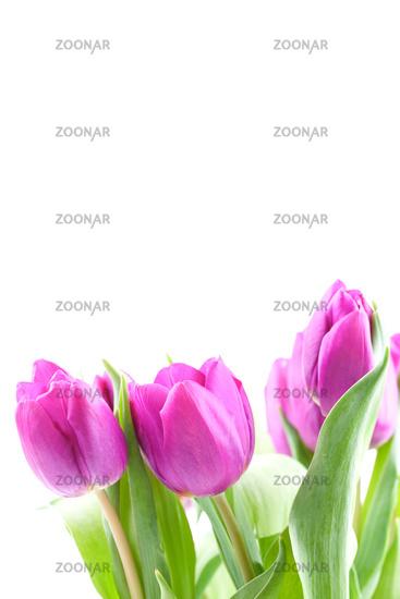 Tulpen in violett