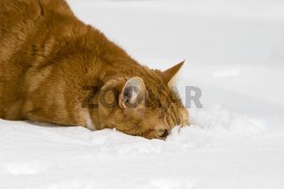 Europaeisch Kurzhaar im Schnee, Keltisch Kurzhaar, European Shorthair, Celtic shorthair