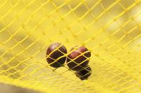 Olives harvest