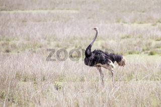 Wild ostrich in Ngorongoro crater, Tanzania.
