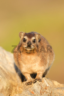 Rock Dassie - Klippschliefer - South Africa