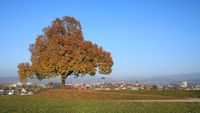 Golden tree on a hill in Wetzikon, Switzerland, Autumn scene.