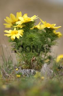 Fruehlings-Adonisroeschen, Adonis vernalis, Spring pheasants eye