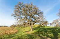 Oak tree by a path in a pasture