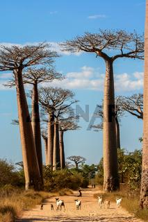 Avenida de Baobab