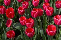 Holländische Tulpen Rosy Delight, Darwinhybriden, Gartenanlage Keukenhof, Lisse, Niederlande