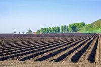 Potato Field in rural landscape