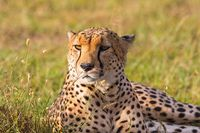 Cheetah lying in the savanna and looking