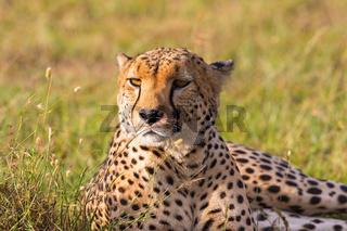 Cheetah lying in the savanna and looking