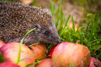 Hedgehog on aplles in nature view