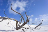 Dead tree, Lençóis Maranhenses, National Park, Brazil