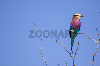 a lilac brested roller in the Kurger National Park South Africa