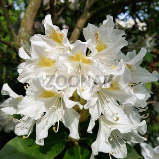 Weißer blühender Rhododendron, Nahaufnahme