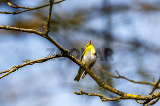 Wood Warbler singing in the springtime from a tree branch