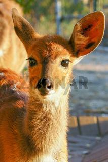 impala South Africa close up