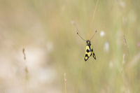 Oestliches Schmetterlingshaft, Libelloides macaronius, Ascalaphid Owlfly from Croatia