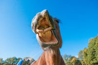 Lustiges Pferd im Portraet