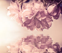 Beautiful sakura flower cherry blossom macro, water reflection, sun light. Greeting card background template. Shallow depth. Soft pastel toned. Spring nature. Faded colors