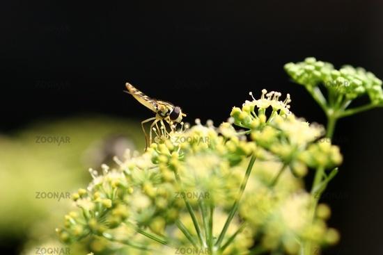 Schwebfliege auf Wiesenkerbel