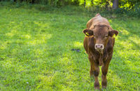 Brown calf on grassland