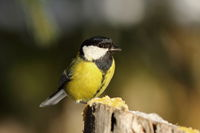 great tit perched on top of wooden stump ( Parus major )