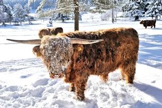 winterlich kalt Schottische Hochlandrinder in Herrenwies Schwarzwald.jpg