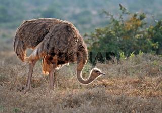 Strauß in der Morgensonne, Südafrika, Ostrich in the morningsun, south africa, Struthio camelus