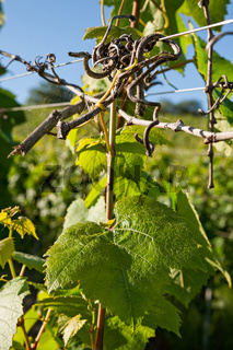 Detail of a vine and leaf