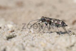 Duenen Sandlaufkaefer, Cicindela hybrida, Northern Dune Tiger Beetle