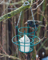 Common starling at a bird feeder