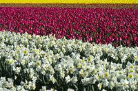 Anbau von Narzissen und Tulpen, Bollenstreek, Noordwijkerhout, Niederlande