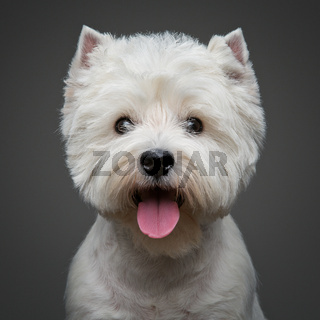 beautiful west highland white terrier dog