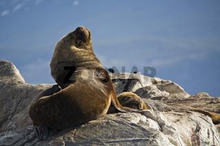 Seeloewenkolonie (Otaria flavescens) im Beagle Kanal, Feuerland, Southern Sea Lions in Beagle-Channel, Tierra del Fuego
