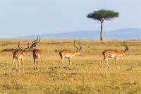 Impala antelope on the grass savannah