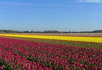 Blühende Tulpenfelder