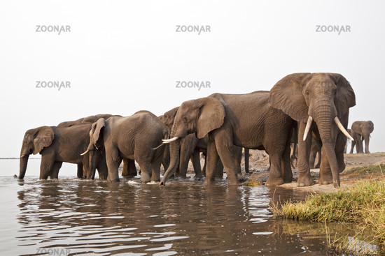 Afrikanischer Elefant im Wasser (Loxodonta africana), Chobe Fluss, Chobe River, Chobe National Park, Botswana, Afrika, African Elephant is in water, Africa