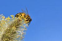 Biene auf einem Weidenkaetzchen