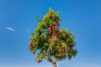 Pomegranates tree against blue sky