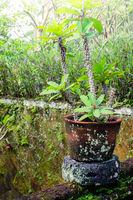 Euphorbia growing in tropical garden