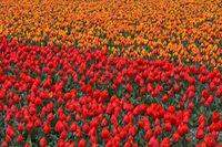 Rote und orangefarbene Tulpen auf einem Tulpenenfeld, Bollenstreek, Niederlande