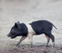 Wild piglet in Florida wetlands