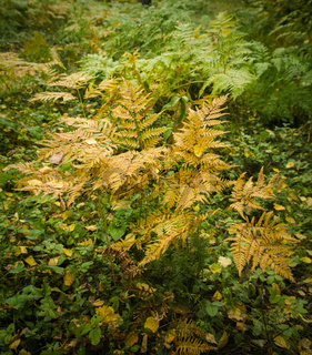 yellowed bush of a fern in an autumn forest