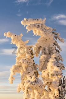 verschneite Fichten, Lappland