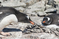 male Gentoo penguin who brought the stone to the nest where the female is sitting