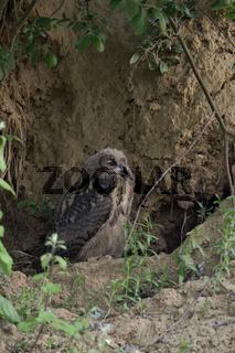 im Tagesversteck... Europäischer Uhu *Bubo bubo* hockt über Tag in einer Kuhle unter einem Busch