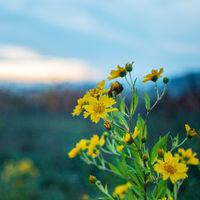 Topinambur Blüte in der Dämmerung