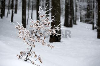 Kleine Buche im Fichtenwald im Winter