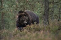 unterwegs im Wald... Europäischer Braunbär *Ursus arctos* im Unterholz
