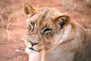Löwin, Kruger NP, Südafrika - lioness, Kruger NP, South Africa