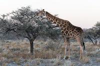 Close view of Namibian giraffe eating thin leaves at savanna